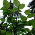 Blaubeere Vaccinium myrtillus 02