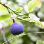 Blaubeeren Vaccinium myrtillus 03