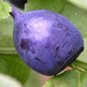Blaubeeren Vaccinium myrtillus 04