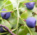 Blaubeeren Vaccinium myrtillus 06