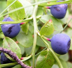 Image: Blaubeeren Vaccinium myrtillus
