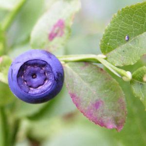 Bild: Blaubeeren Vaccinium myrtillus