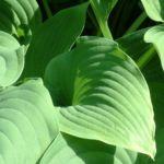 Bild: Blaublatt Funkie Blatt grün Hosta