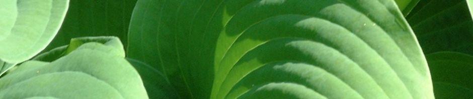 blaublatt-funkie-blatt-gruen-hosta