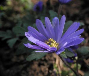 Blaue Anemone Bluete lila Anemone blanda 02