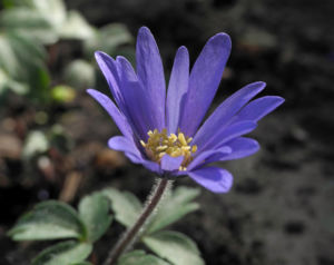 Blaue Anemone Bluete lila Anemone blanda 03