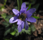 Blaue Anemone Bluete lila Anemone blanda 08