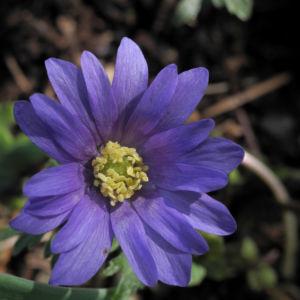 Blaue Anemone Bluete lila Anemone blanda 10