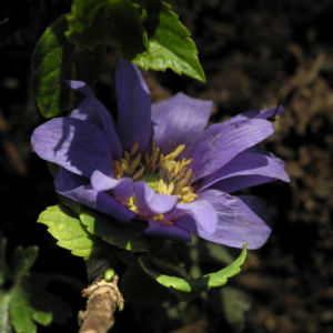 Blaue Anemone Bluete lila Anemone blanda 11