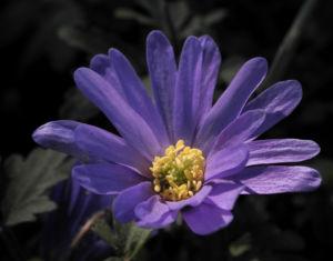 Blaue Anemone Bluete lila Anemone blanda 12