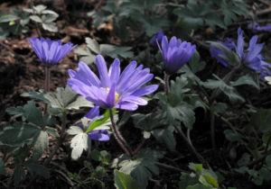 Bild: Blaue Anemone Bluete lila Anemone blanda