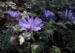 Zurück zum kompletten Bilderset Balkan-Windröschen Blüte lila Anemone blanda