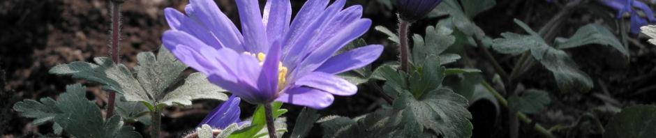 balkan-windroeschen-bluete-lila-anemone-blanda