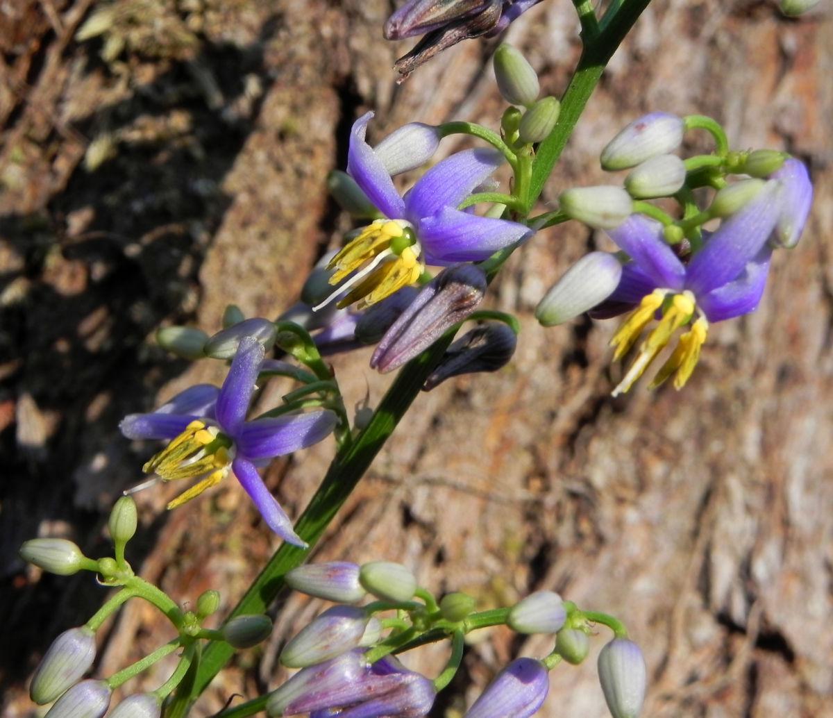 Blaue Flachslilie Bluete lila Dianella caerulea