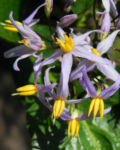 Bild: Blaue Flachslilie Blüte lila Dianella caerulea