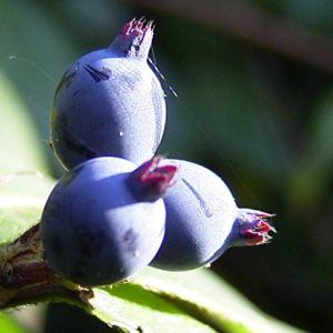 Blaue Heckenkirsche Lonicera caerulea 03
