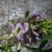 Zurück zum kompletten Bilderset Luzerne Blüte blau Medicago sativa