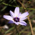 Blaue Rasselblume Bluete lila weiss Catananche caerulea 01