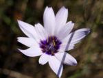 Blaue Rasselblume Bluete lila weiss Catananche caerulea 06