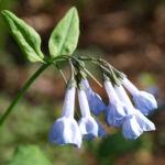 Blaue Virginia Waldglocke Bluete hellblau Mertensia virginica 01