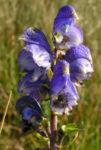 Blauer Eisenhut Bluete blau Aconitum napellus 01