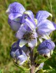 Blauer Eisenhut Bluete blau Aconitum napellus 03