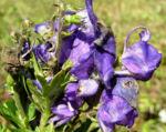 Blauer Eisenhut Bluete blau Aconitum napellus 04