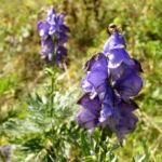 Blauer Eisenhut Bluete blau Aconitum napellus 05