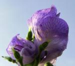 Blauer Eisenhut Bluete blau Aconitum x arendsii 02