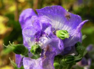 Blauer Eisenhut Bluete blau Aconitum x arendsii 03