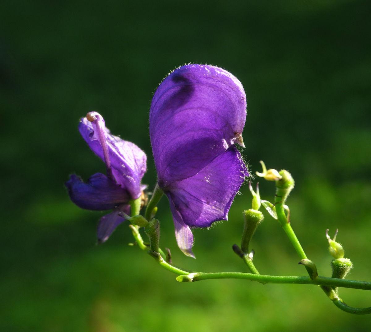 Blauer Eisenhut Bluete lila Aconitum napellus