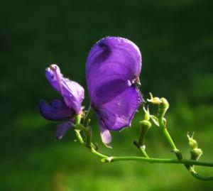 Blauer Eisenhut Bluete lila Aconitum napellus 03