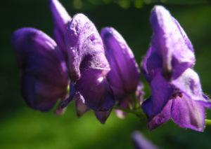 Blauer Eisenhut Bluete lila Aconitum napellus 04
