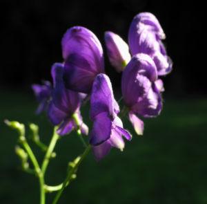 Bild: Blauer Eisenhut Bluete lila Aconitum napellus