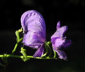 Blauer Eisenhut Bluete lila Aconitum napellus 09