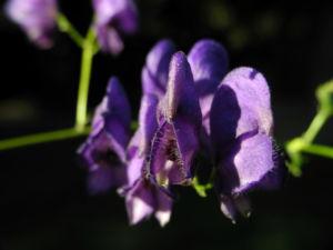 Blauer Eisenhut Bluete lila Aconitum napellus 10