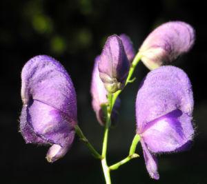 Blauer Eisenhut Bluete lila Aconitum napellus 12