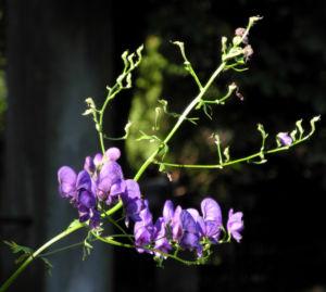 Blauer Eisenhut Bluete lila Aconitum napellus 13