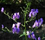 Bild: Blauer Eisenhut Blüte lila Aconitum napellus