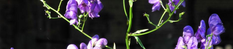 blauer-eisenhut-bluete-lila-aconitum-napellus