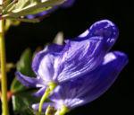 Blauer Eisenhut Kraut Bluete blau Aconitum napellus 04