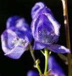 Blauer Eisenhut Kraut Bluete blau Aconitum napellus 05