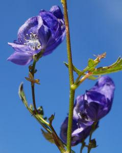 Blauer Eisenhut Kraut Bluete blau Aconitum napellus 10