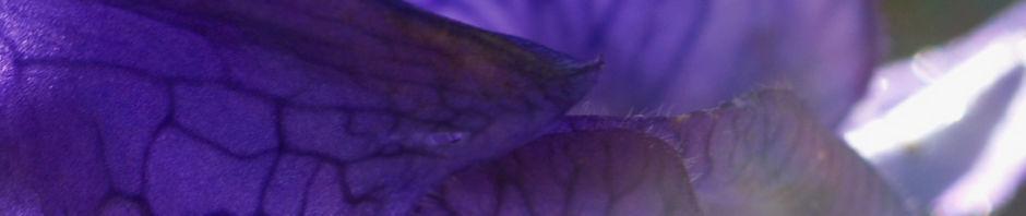 blauer-eisenhut-kraut-bluete-blau-aconitum-napellus