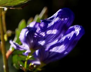 Blauer Eisenhut Kraut Bluete blau Aconitum napellus 17
