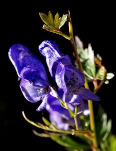 Blauer Eisenhut Kraut Bluete blau Aconitum napellus 20