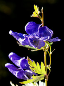 Blauer Eisenhut Kraut Bluete blau Aconitum napellus 21