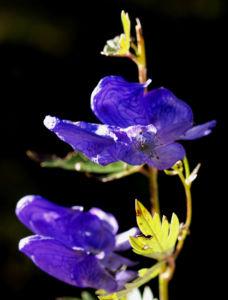 Blauer Eisenhut Kraut Bluete blau Aconitum napellus 22