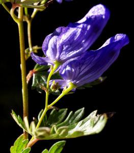 Blauer Eisenhut Kraut Bluete blau Aconitum napellus 24