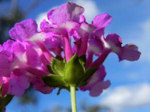 Blaues Wandelroeschen Bluete pink Lantana montevidensis 12